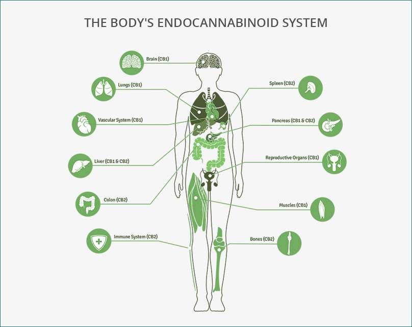 Le système endocannabinoïde (ECS) est un système biologique CBD Body Lotion