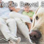 CBD pour le syndrome du côlon irritable chez les chiens - peut-il aider?