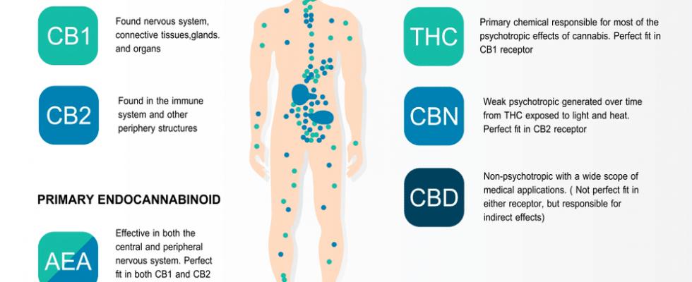 Qu'est-ce que le CBD et le système endocannabinoïde?