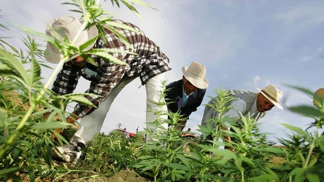 Des agriculteurs détruisent des plantations de cannabis sous la surveillance de la police marocaine dans la région de Larache, au nord du Maroc, photographiée ici en 2006